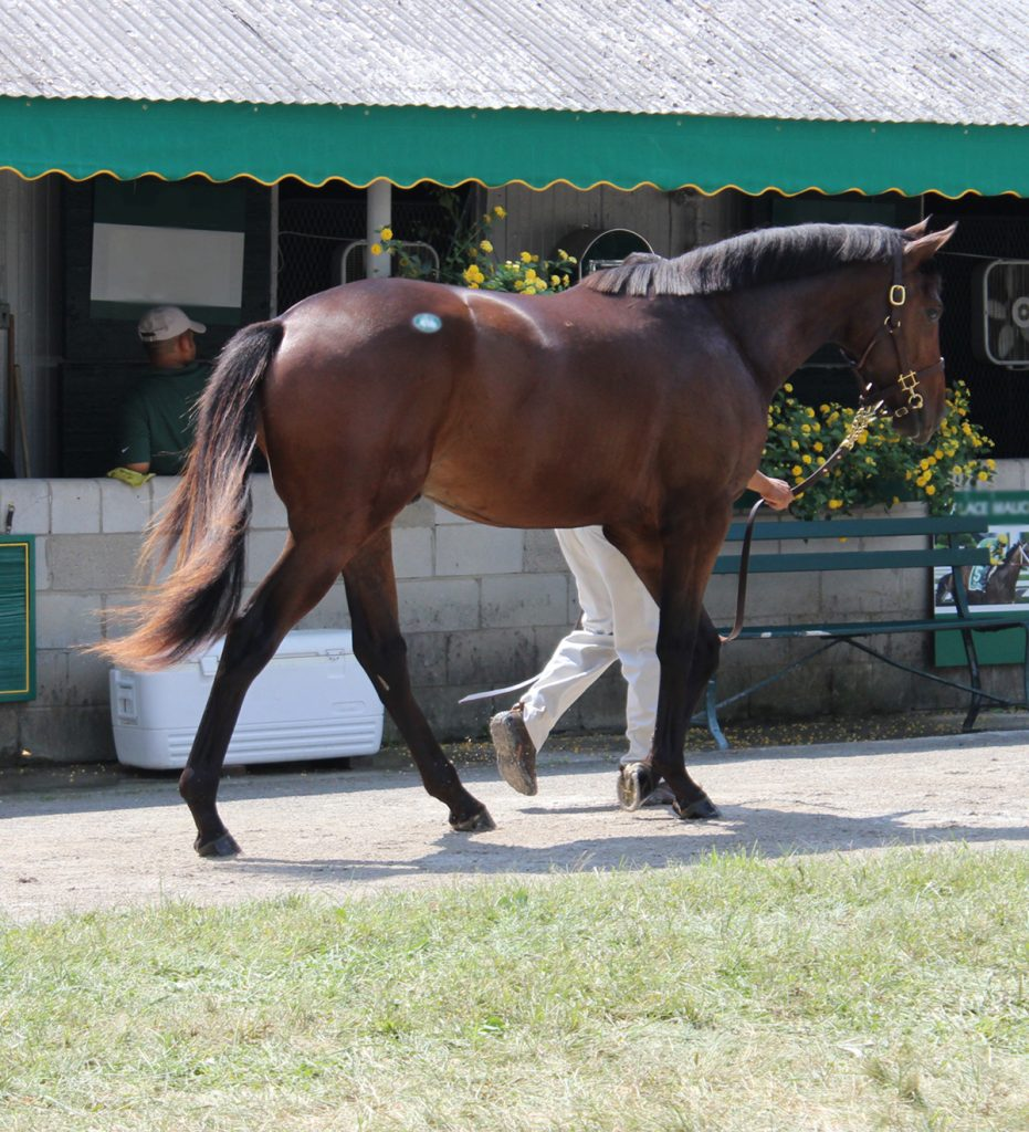 Bay horse walking in sales ring fed for weight gain horse feed.