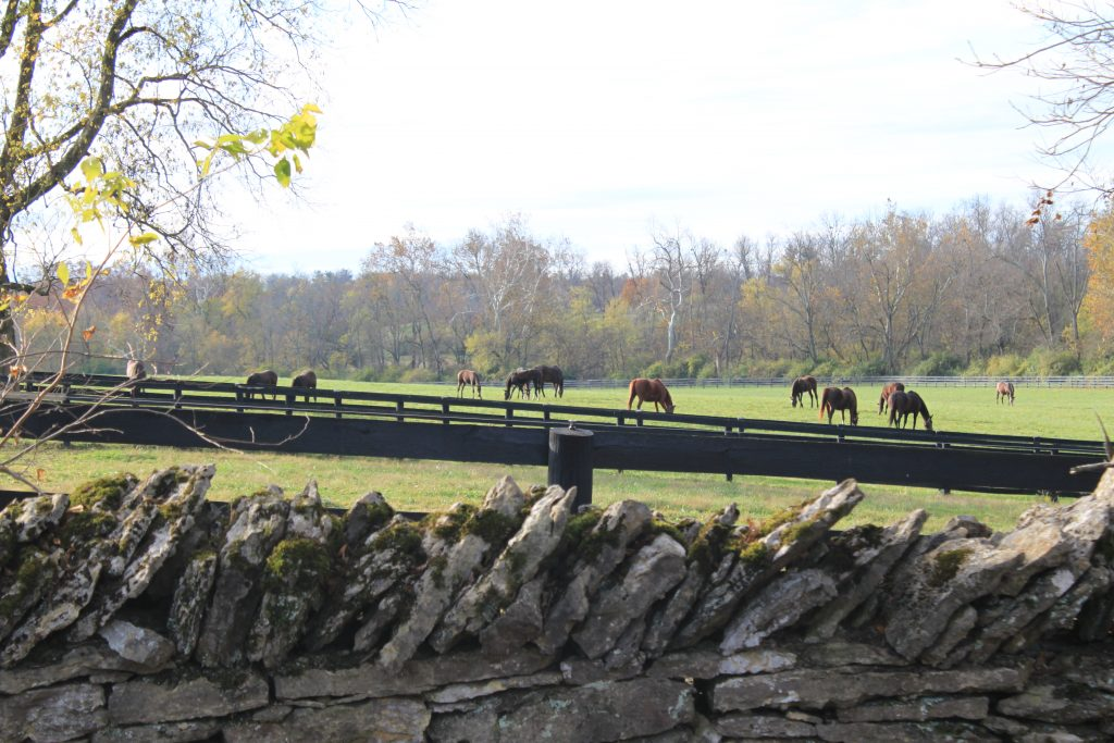 Multiple brown horses in a field surrounded by a black wooden plank fence, with a stone fence in the foreground.